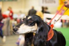 De grote zwarte fured hondenportret - bij de tentoonstelling Stock Fotografie