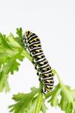 De grote zwarte larven van de swallowtailvlinder Stock Afbeelding