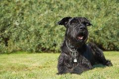 De grote Zwarte Schnauzer-Hond ligt bij het gazon royalty-vrije stock foto