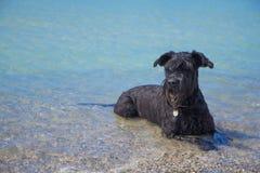 De grote Zwarte Schnauzer-hond is ligt in het overzees Stock Foto's