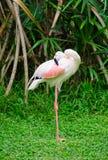 De grotere flamingo maakt zich schoon Royalty-vrije Stock Foto