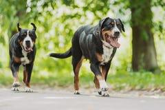 De grotere Zwitserse Hond van de Berg Stock Afbeeldingen
