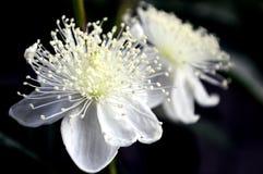 De guavebloemen zijn bloeiend Royalty-vrije Stock Foto's