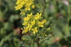 De gula blommorna är vid liv och nya Arkivbilder