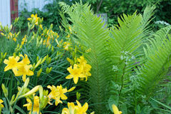 De gula Bush liljorna Arkivbild