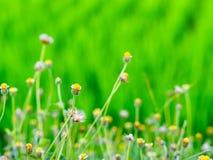 De gula gräsblommorna Royaltyfria Bilder