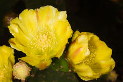 De gula kaktusblommorna arkivfoto
