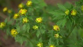 De gula knopparna av globefloweren är klara att blomma arkivfilmer