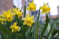 De gula påskliljorna Arkivfoton
