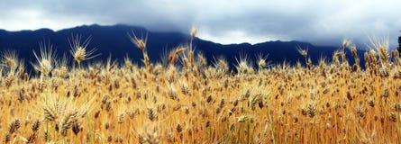 De guld- vetefälten royaltyfri fotografi