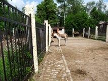 De gulliga Turkmenian kulan ställningarna i aviariet i den Kharkov zoo Kharkiv, Ukraina arkivbild