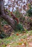 De gulzige gemeenschappelijke eekhoorn, rusteloos zoals altijd royalty-vrije stock afbeelding