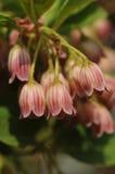 De hängande blommorna av den Enkianthus campanulatusen var campanulatus Royaltyfria Bilder
