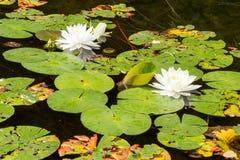 De härliga blommorna eller näckrornas för vit lotusblomma i dammet på Arkivbilder