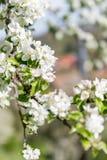 De härliga blomningarna av äppleträdet royaltyfria bilder