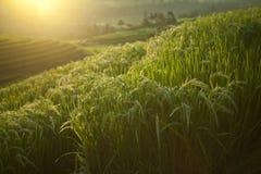 De härliga risfälten, Bali, Indonesien royaltyfri foto
