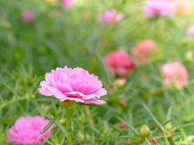 De härliga rosa färgblommorna Arkivbild