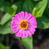 De härliga rosa färgerna blommar att blomma Arkivbild