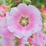 De härliga rosa färgerna blommar att blomma Fotografering för Bildbyråer
