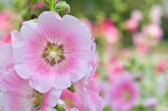 De härliga rosa färgerna blommar att blomma Royaltyfria Foton