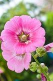 De härliga rosa färgerna blommar att blomma Royaltyfri Fotografi