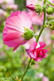 De härliga rosa färgerna blommar att blomma Arkivfoto