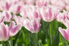 De härliga tulporna är i solen Arkivfoto