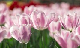 De härliga tulporna är i solen Arkivbilder