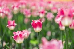 De härliga tulporna är i solen Royaltyfri Bild