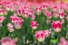 De härliga tulporna är i solen Royaltyfri Foto