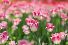 De härliga tulporna är i solen Arkivfoton