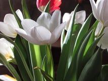 De härliga tulporna Arkivfoton