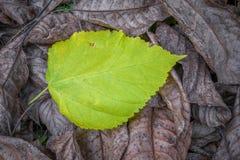 De höstliga sidorna av poppelträdet, som inte har ännu fått utbrott, har stupat royaltyfria bilder