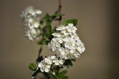 De haagdoornboom die bloeien bij kan royalty-vrije stock foto's