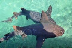 De Haai die van de verpleegster in Caraïbische overzees zwemt Stock Foto's
