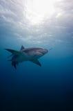 De haai en de vissen van de citroen Stock Foto's