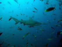 De haai en de vissen van de stier Stock Afbeeldingen