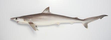 De haai op snuffelt rond Royalty-vrije Stock Afbeeldingen