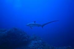 De haai van de dorser stock afbeeldingen
