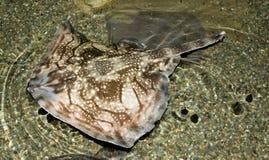 De Haai van de engel Stock Afbeeldingen