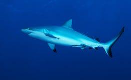 De haai van de ertsader Stock Foto