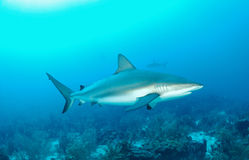 De haai van de ertsader Royalty-vrije Stock Afbeeldingen