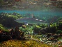 De haai van de Galapagos stock fotografie