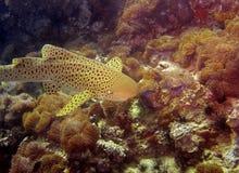 De haai van de luipaard Royalty-vrije Stock Foto