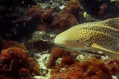 De haai van de luipaard Stock Foto's