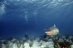 De Haai van de tijger Stock Afbeeldingen