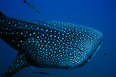 De Haai van de walvis Royalty-vrije Stock Afbeelding