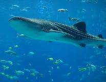 De Haai van de walvis Stock Afbeeldingen