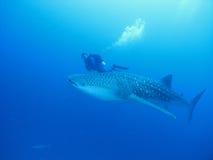 De haai van de walvis Stock Foto