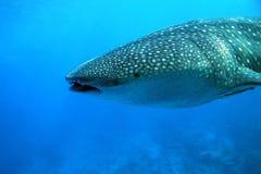 De haai van de walvis Royalty-vrije Stock Foto
